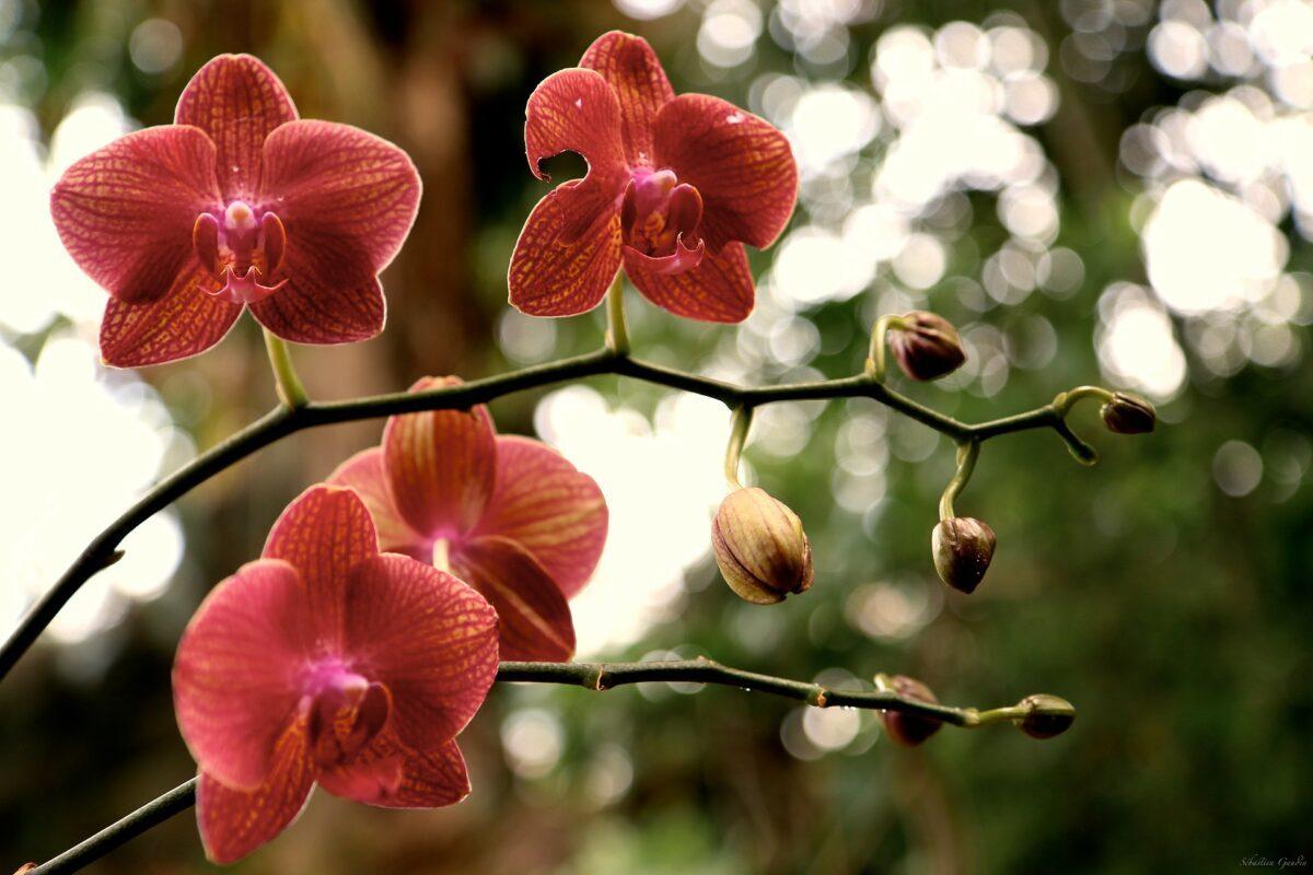 orchidée-by-sébastien-gaudin